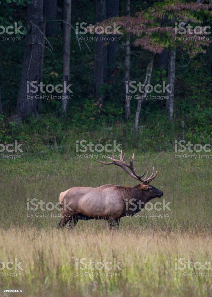 Bull Elk Standing in Fall Field stock photo