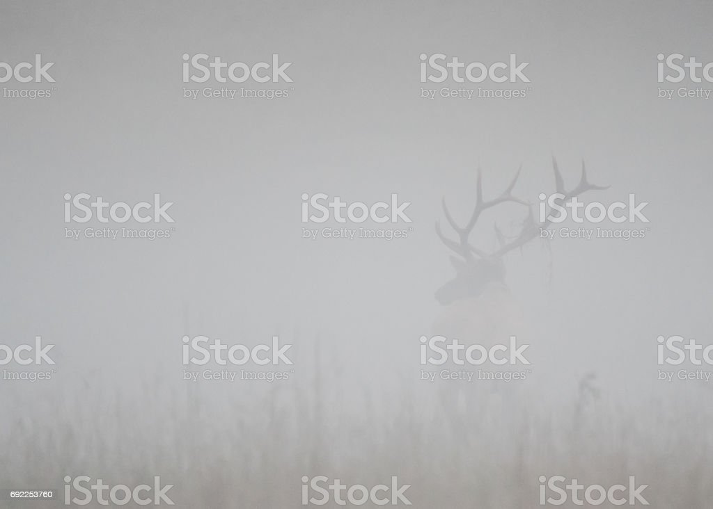Bull Elk Stands at Attention in Thick Fog stock photo
