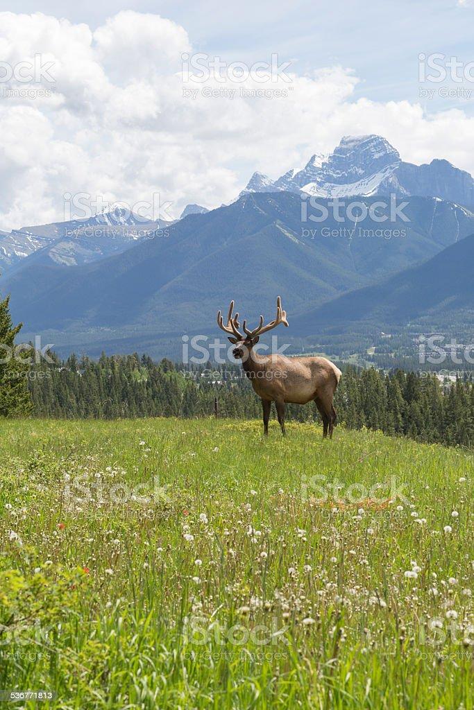 Bull elk stands in alpine meadow, below mountains stock photo