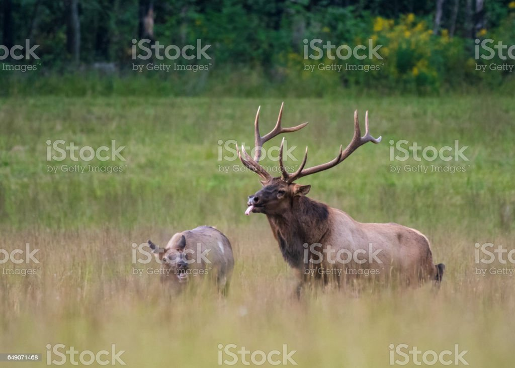 Bull Elk Unsuccessfully Tries to Mate with Cow stock photo