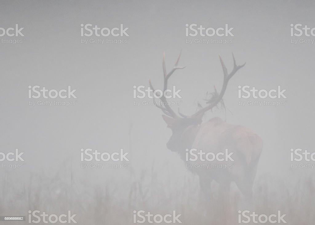 Bull Elk Walks Away into Fog stock photo