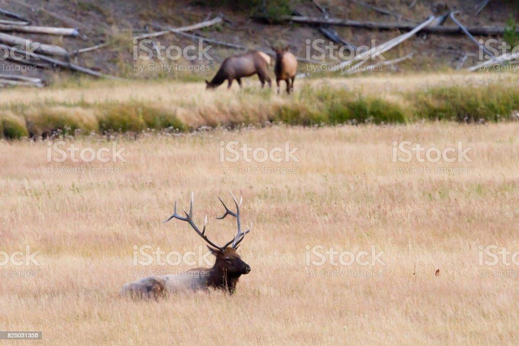 Bull Elk Watches Over His Harem stock photo