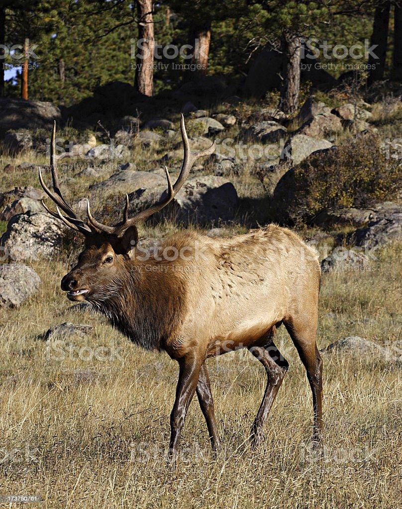 Bull Elk (Cervus elaphus) Watching Over His Harem stock photo
