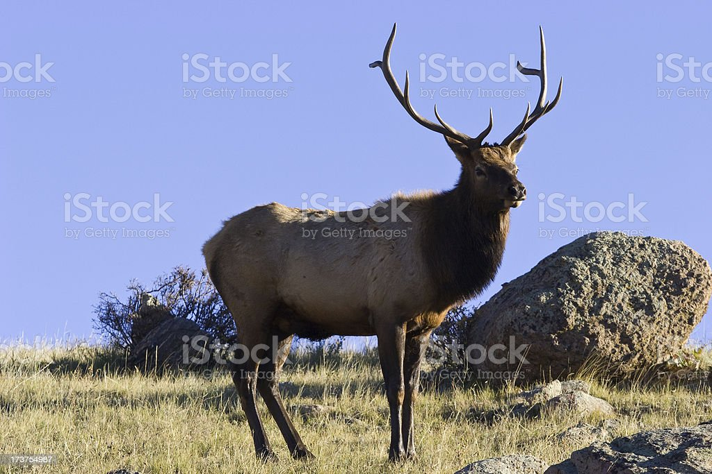 Bull Elk Watching Over His Harem, Rocky Mountain National Park stock photo