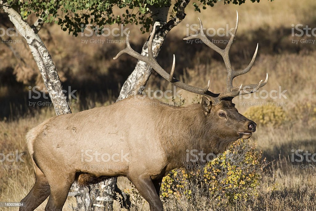 Bull Elk With a Large Antler Rack in the Sunshine stock photo