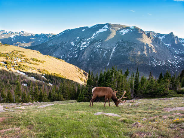 Bull elk with beautiful antlers on early summer evening. stock photo