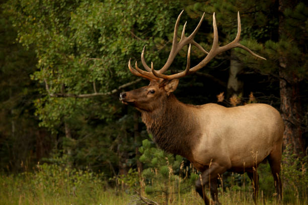 Bull elk with large antlers stock photo
