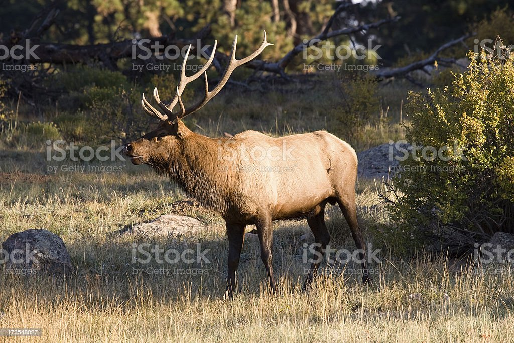 Bull Elk with Large Antlers, Rocky Mountain National Park stock photo