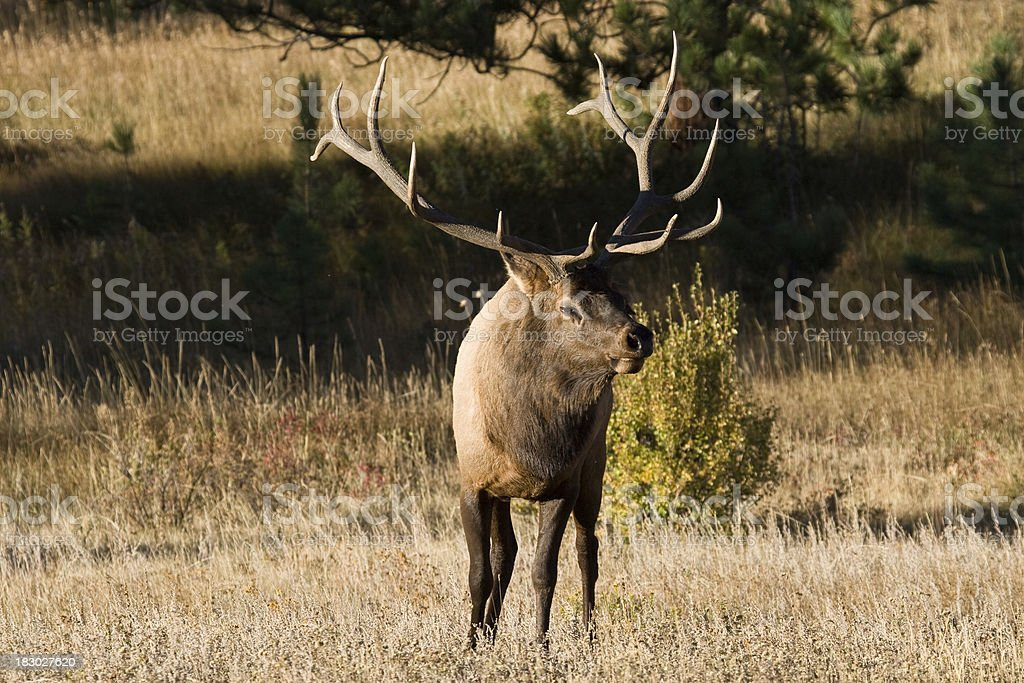 Bull Elk With Massive Antlers, Rocky Mountain National Park stock photo