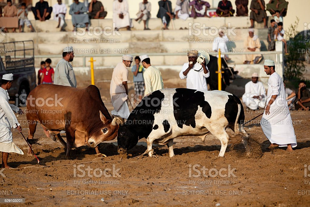 Bull Fight In Barka Oman Stock Photo - Download Image Now