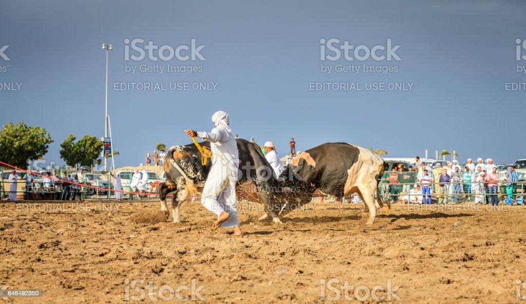 Bull fighting in Fujairah stock photo