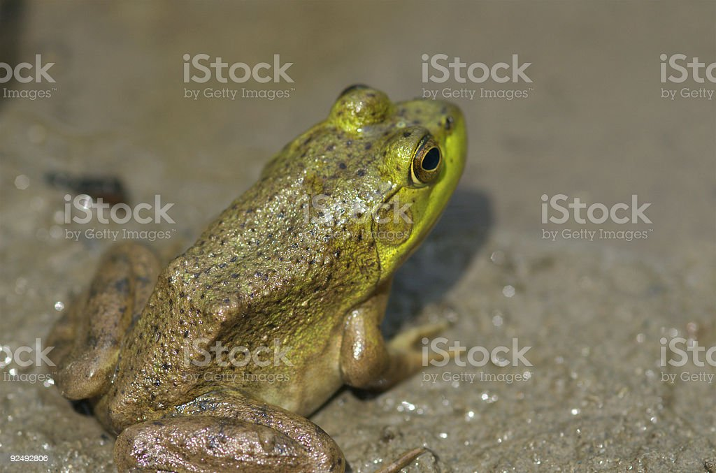 bull frog royalty-free stock photo