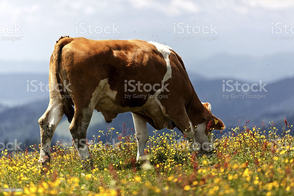bull (cow / cattle) grazing in austrian alps royalty-free stock photo