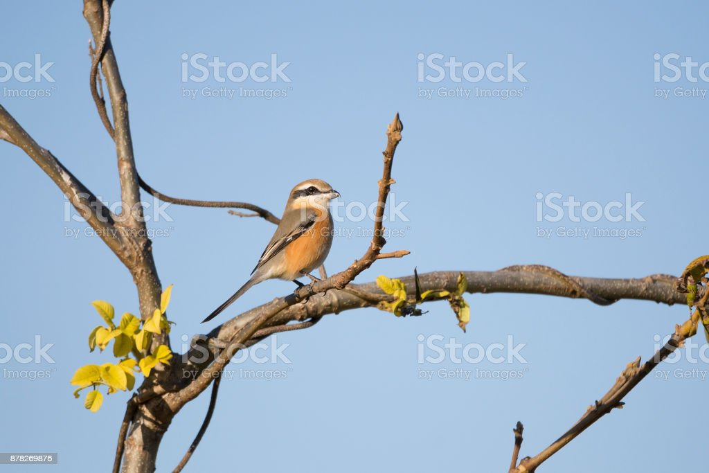 Bull headed shrike on a twig stock photo