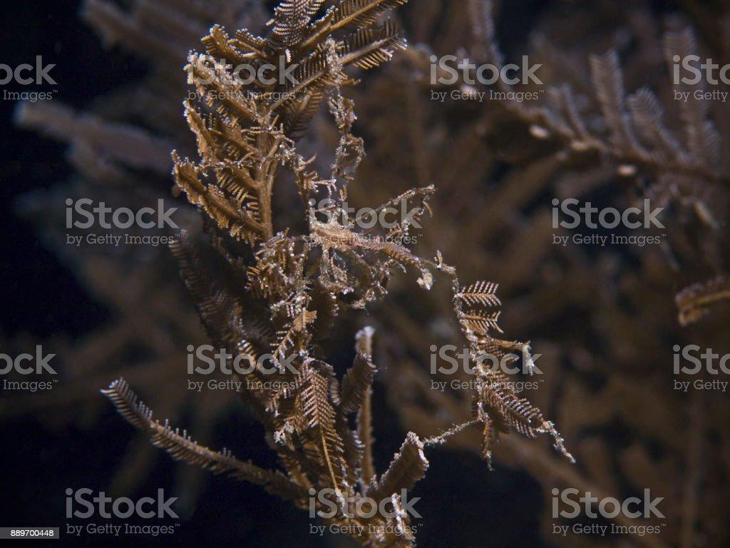 Bull Hydroid Crab (Naxioides taurus) stock photo