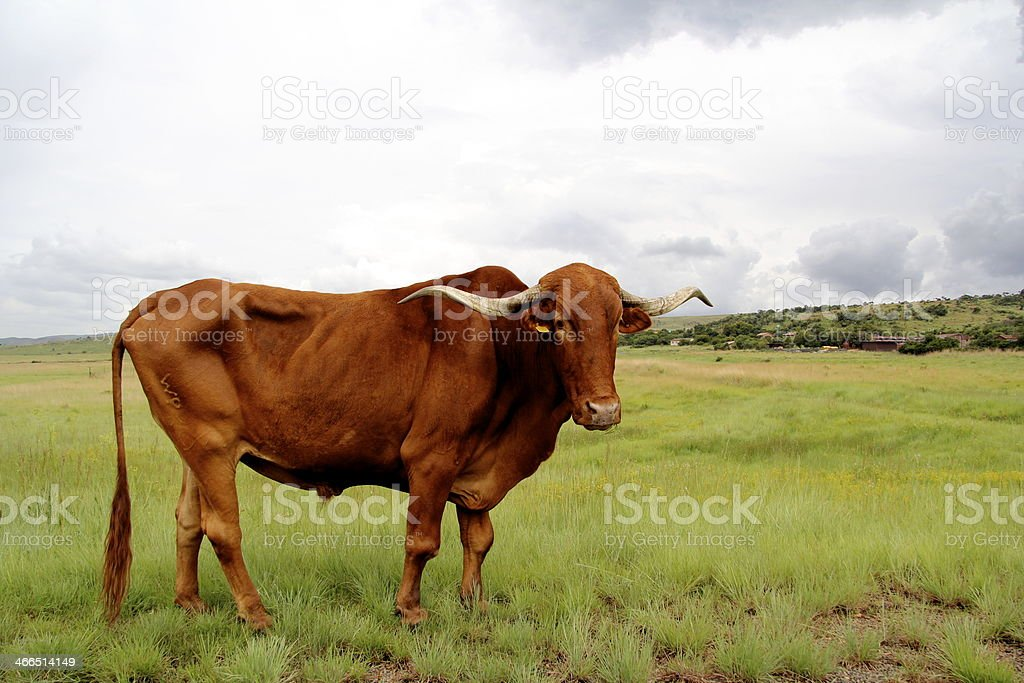 Bull in a field of green stock photo