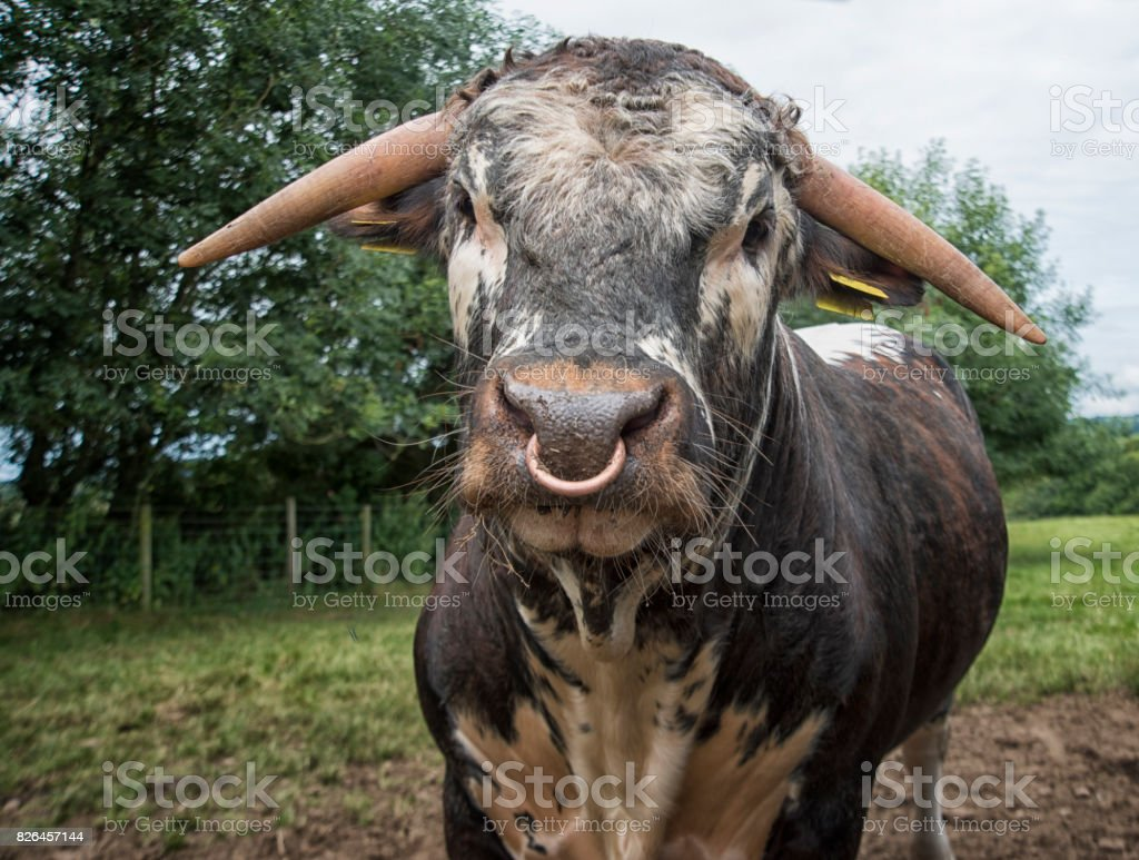 Bull in a field stock photo