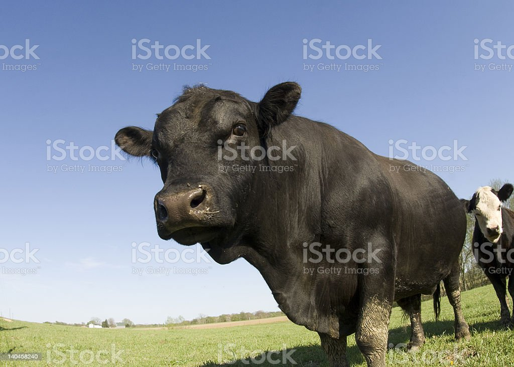 Bull in a green pasture stock photo