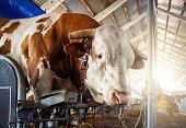 Bull in barn