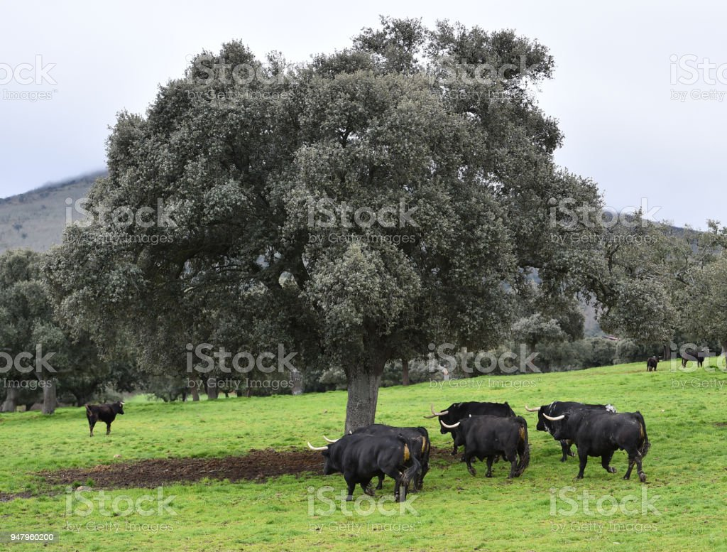 bull in green countryside stock photo