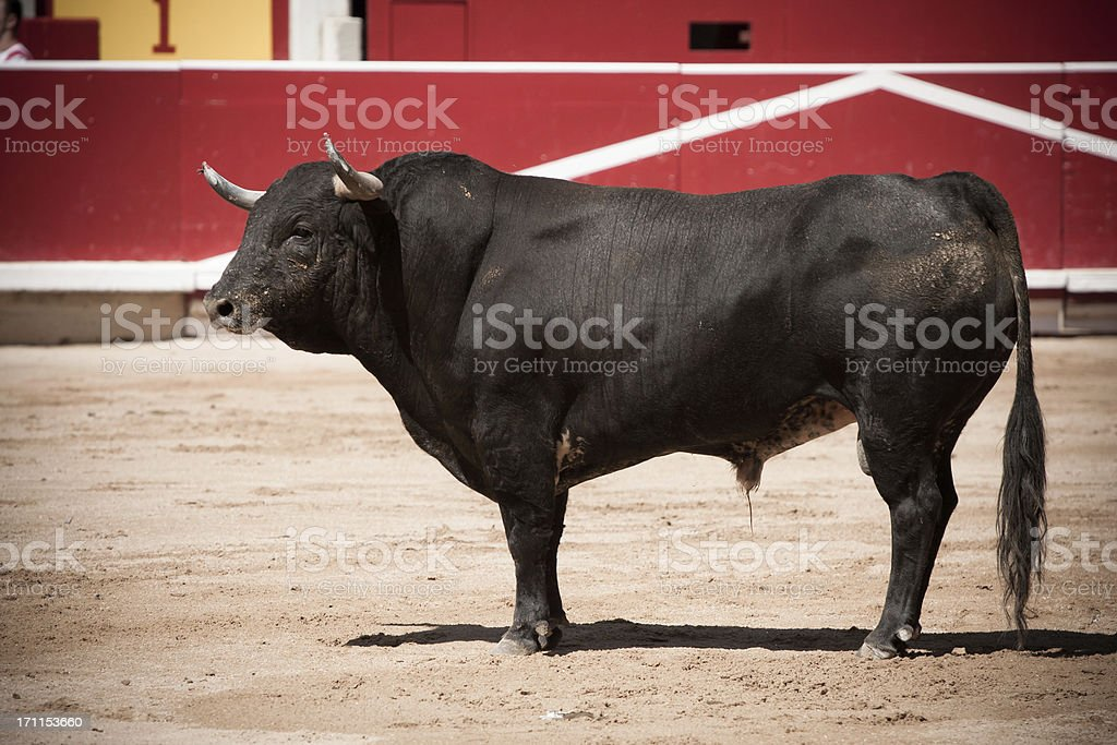 Bull in the bullring royalty-free stock photo