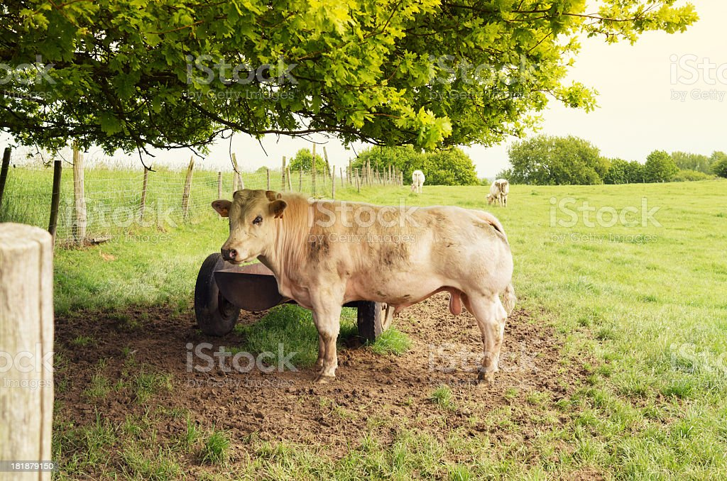 Bull in the pasture royalty-free stock photo