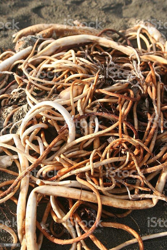 Bull Kelp Cluster stock photo