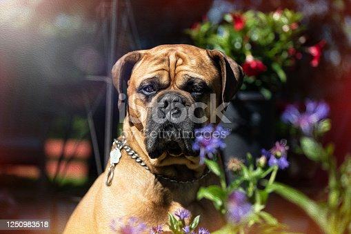 Bull Mastiff dog enjoying the sunshine outdoors amongst the colourful foliage. Photoshopped Oil Painting appliqué applied to photographed image.