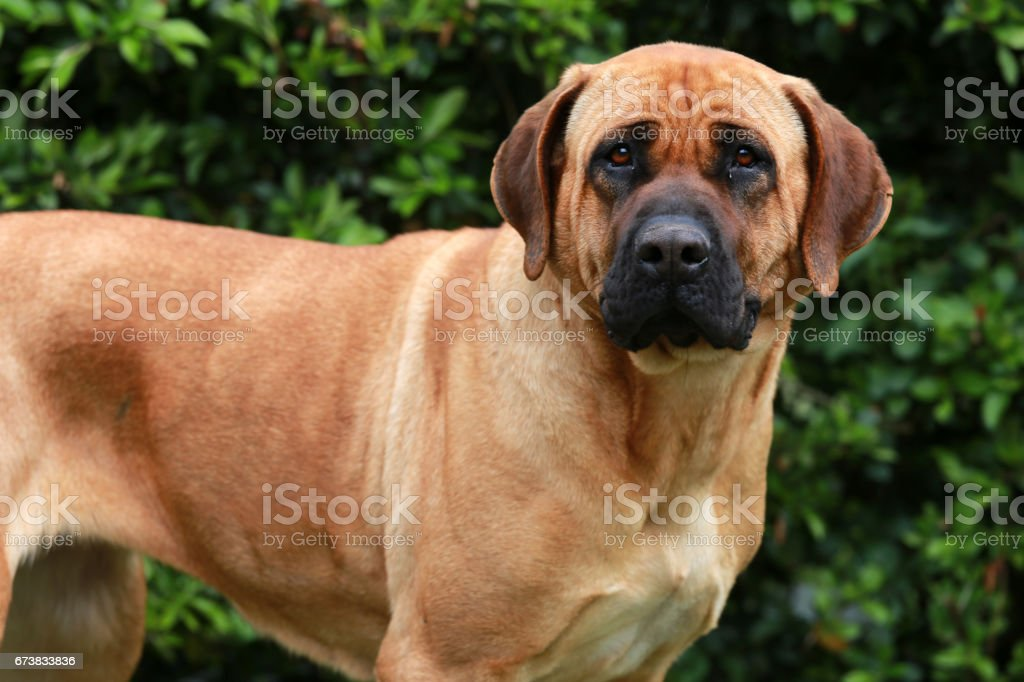 Bull mastiff tosa inu tête bouchent photo libre de droits