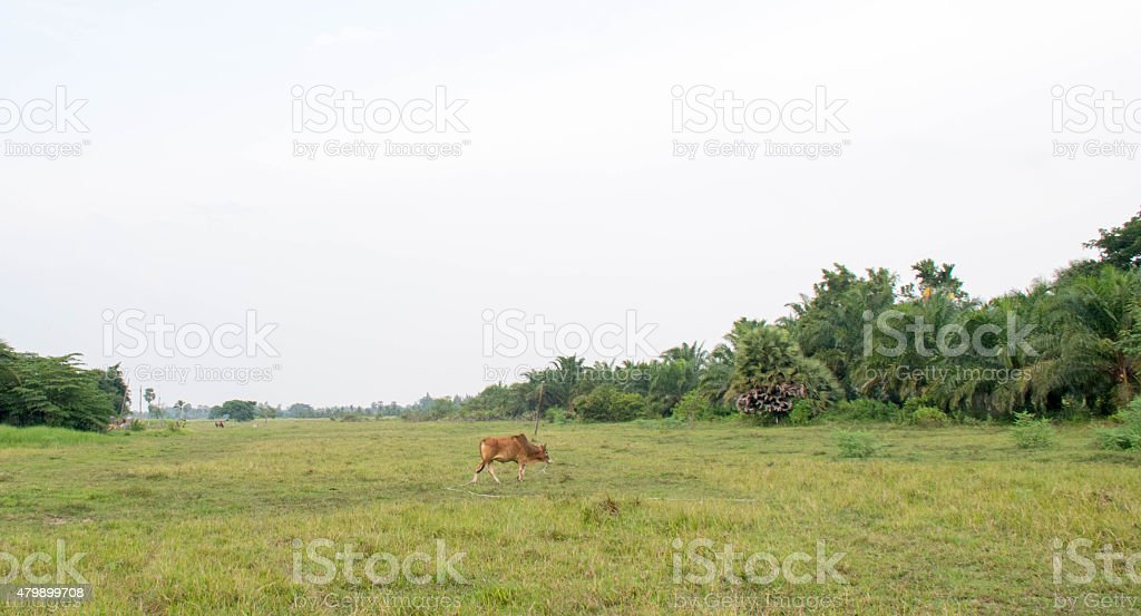 bull meadow stock photo