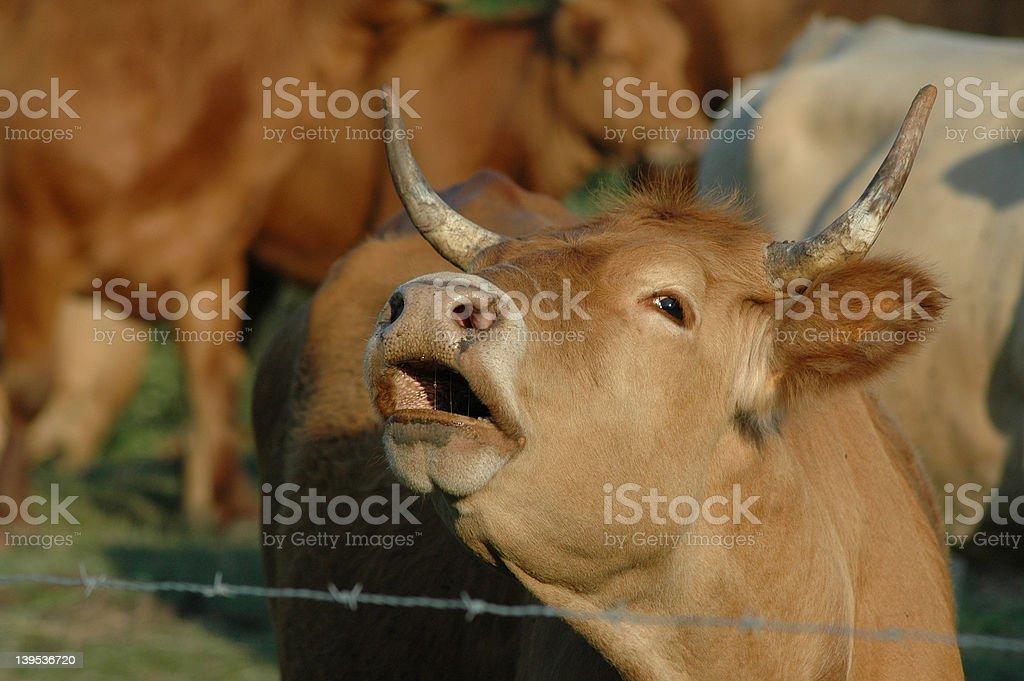 bull moo stock photo