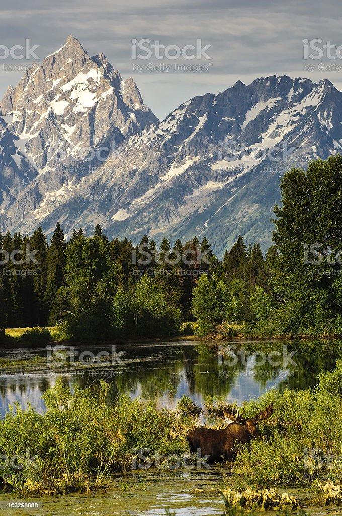 Bull Moose at a lakeside stock photo