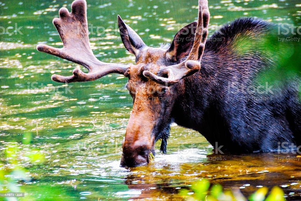'Bull Moose at Feeding Time' stock photo