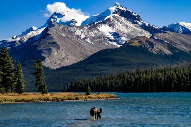 Bull moose at maligne lake picture id679550708?b=1&k=6&m=679550708&s=612x612&w=0&h=riz0vcgc7p4ia1d qsdmeto89q6yobaoi9rhhpgsbso=