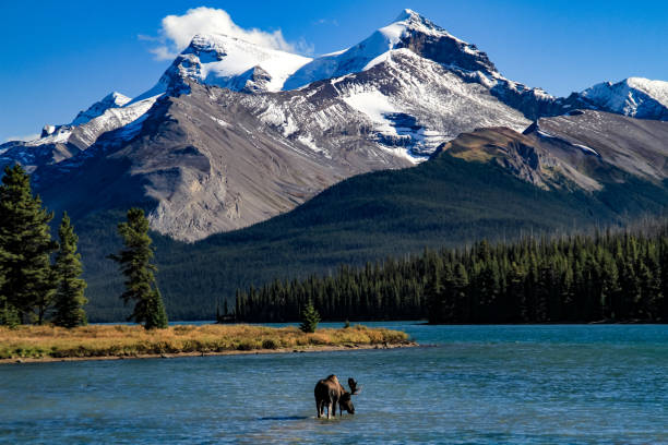Bull Moose at Maligne Lake stock photo