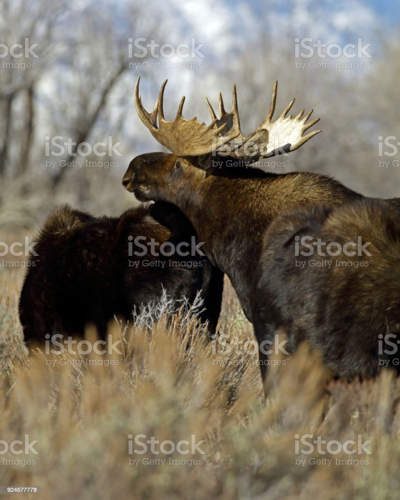 Bull Moose Chinning Cow Stock Photo & More Pictures of Antler | iStock