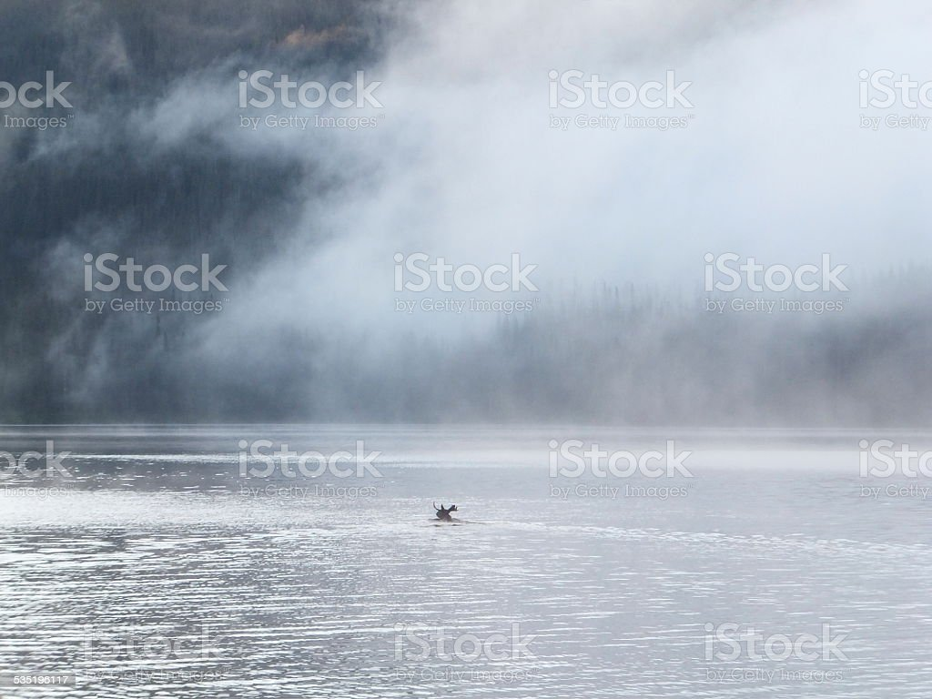 Bull moose crossing a lake royalty-free stock photo