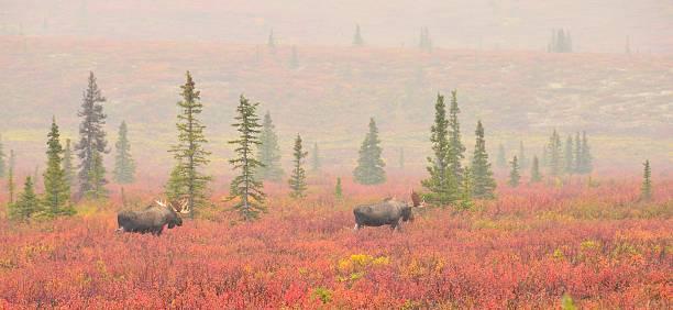 alce macho cruzeiro a red tundra no de denali - tundra imagens e fotografias de stock