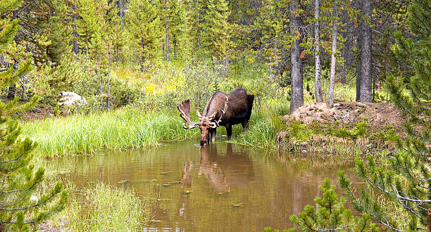 Bull Moose (Alces) Drinking From A Mountain Pond stock photo