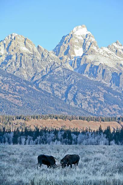 Bull Moose Fighting and Tetons stock photo