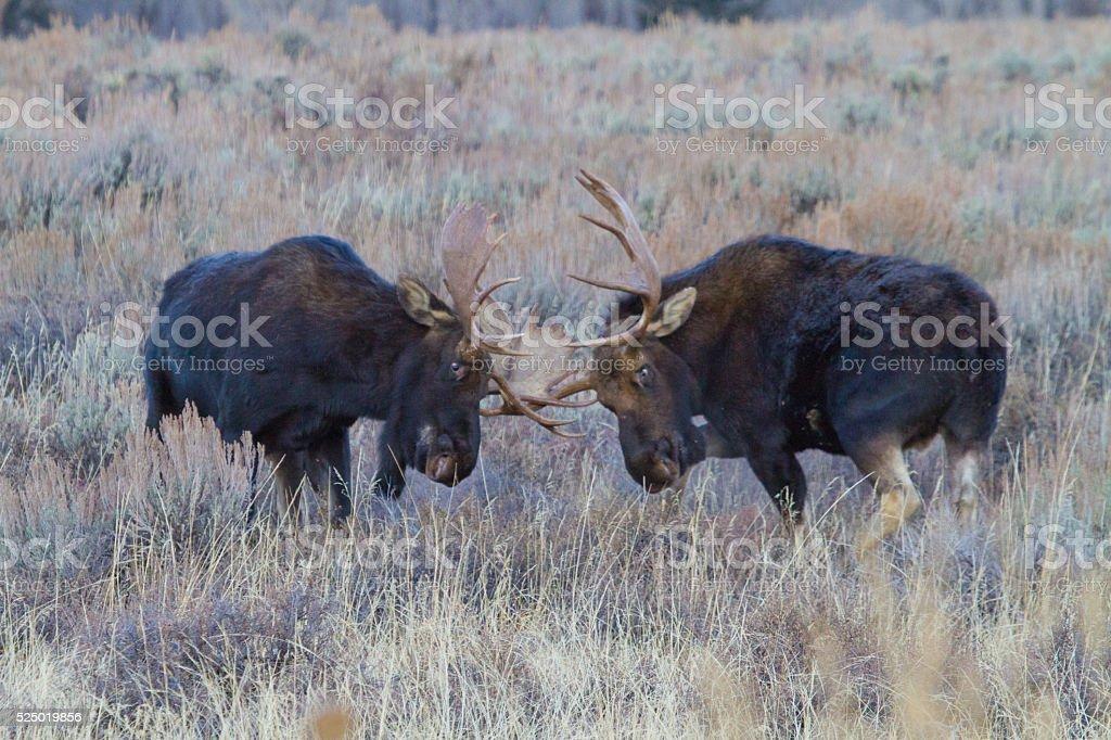 Bull Moose Fighting stock photo