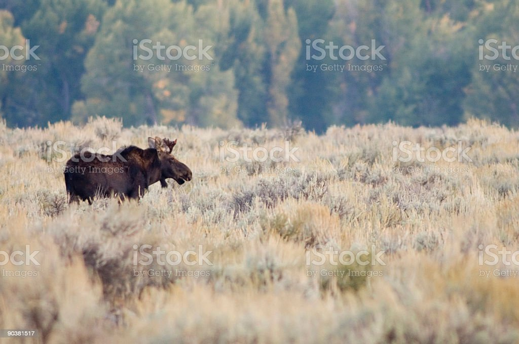 Bull moose in a meadow royalty-free stock photo
