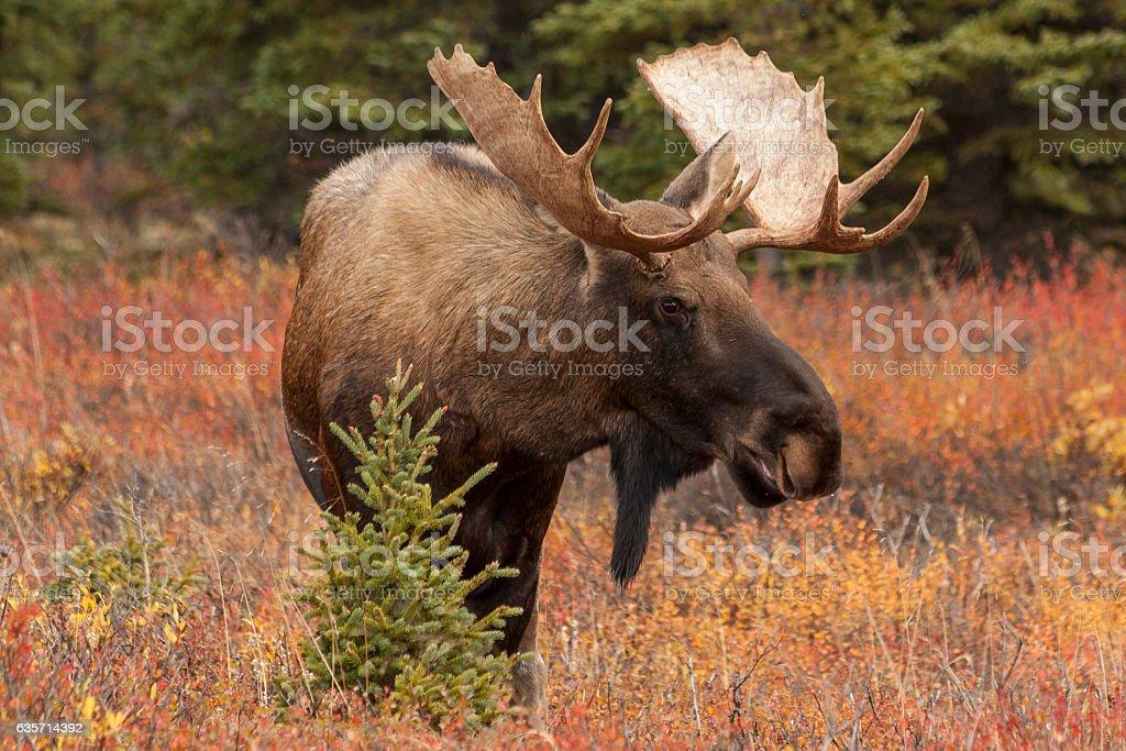 Bull moose in Denali National Park, Alaska. royalty-free stock photo