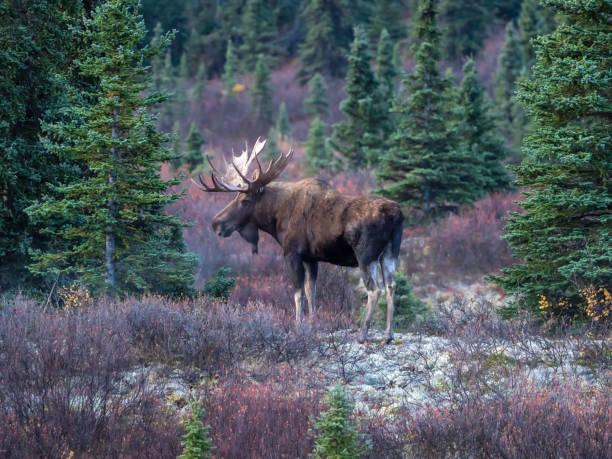 Bull moose in denali national park picture id1178598209?b=1&k=6&m=1178598209&s=612x612&w=0&h=s eamidabd xgphlkkdieltf vii62wxsowibqmrhkc=