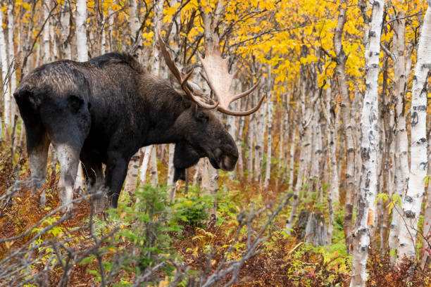 Moose Animal Animal Hair Animals In The Wild Stock Photos ...
