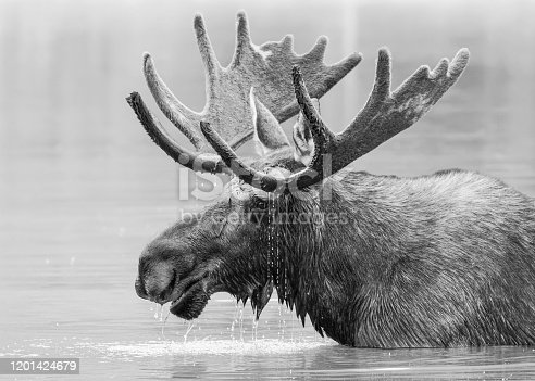 Wild Moose Living in the Forests of the Colorado Rocky Mountains. Monochrome treatment of a bull moose in a lake with water dripping from antlers.