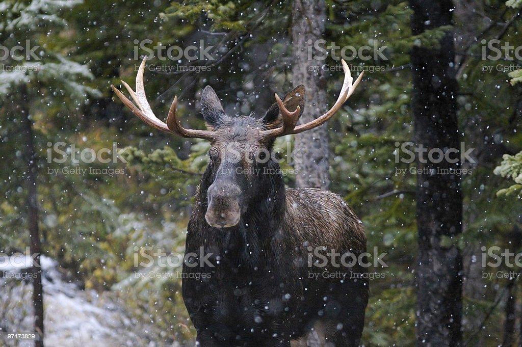 Bull Moose in Snow Fall stock photo