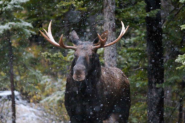 Bull Moose in Snow Fall stock photo