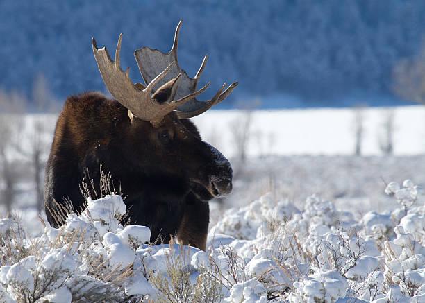 Bull Moose in Snow II stock photo
