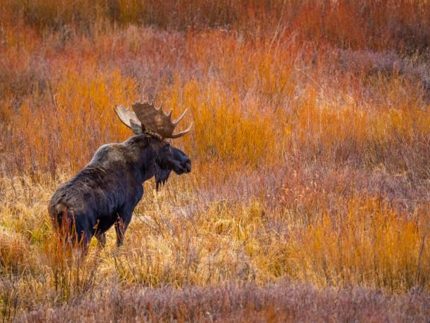 Bull moose in state forest state park picture id1151291366?b=1&k=6&m=1151291366&s=612x612&w=0&h=9bio8ui3bmqdguoxhhkeyldnyvqcgyx6gd1lwg3sfvm=